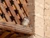 Khiva - Sparrow