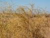 Kyzylkum Desert - Plants