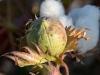 Road to Buchara - Cotton Plant