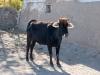 Kadok Village - Cow